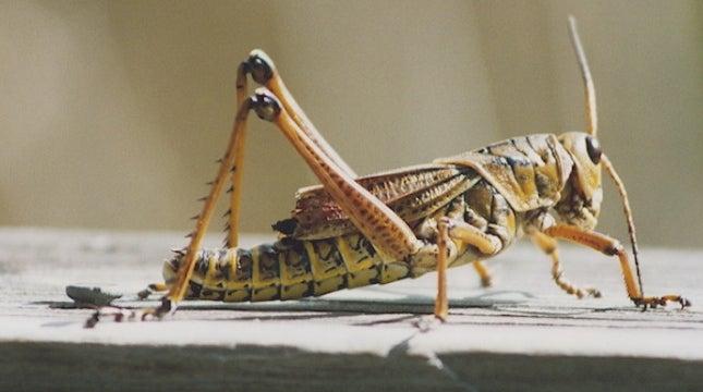 Cricket-specific plague strikes