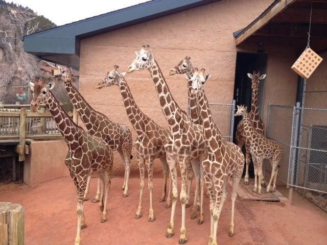 Today Is World Giraffe Day! Live Giraffe Cam!