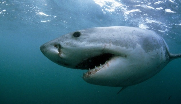 Teen great white sharks don't have strong enough jaws to kill humans