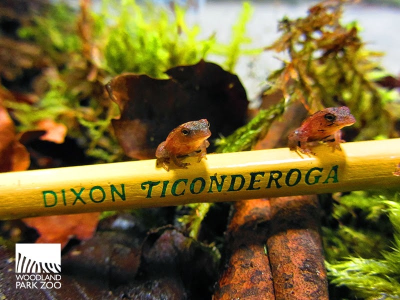 For These Tiny Frogs, a Pencil is a Log