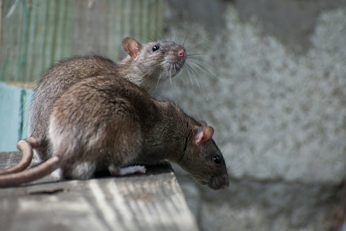 Did the Superstorm force diseased rats out of the subway?