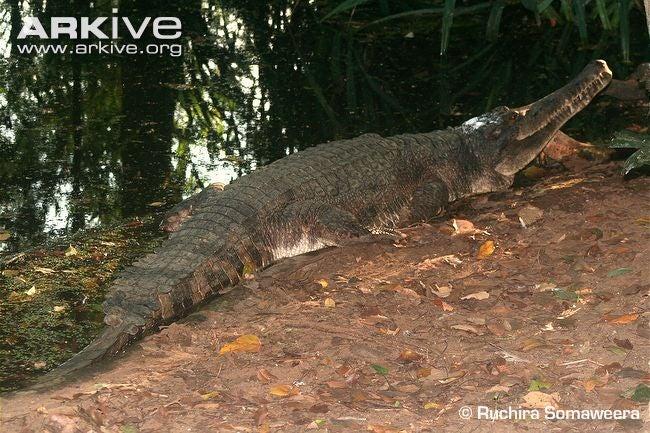 Sunday Crocodilian - Tomistoma schlegelii Edition