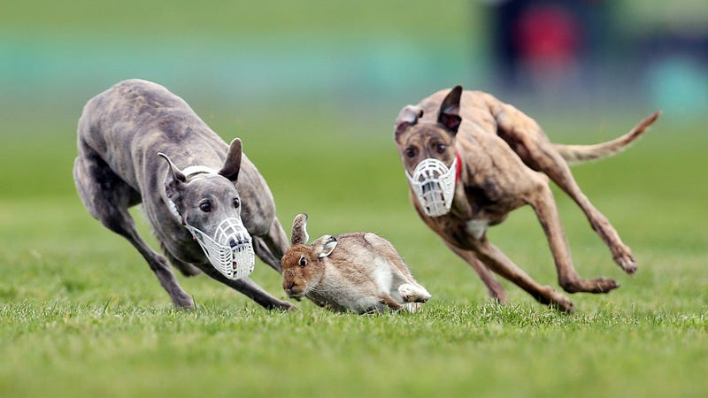 Why does a rabbit flash its white tail when its being chased?
