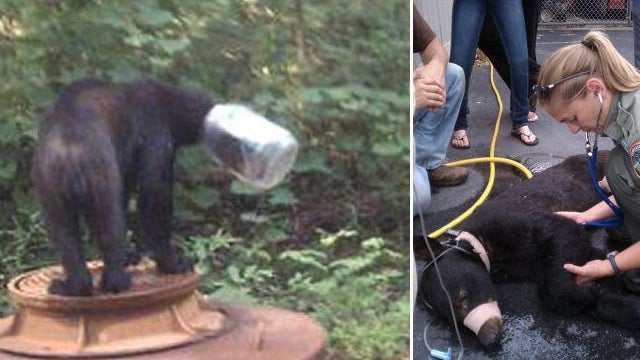 Bear Okay After Three Weeks With Its Head in a Jug