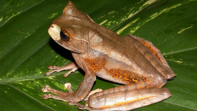 Why did this frog species suddenly evolve extra teeth?