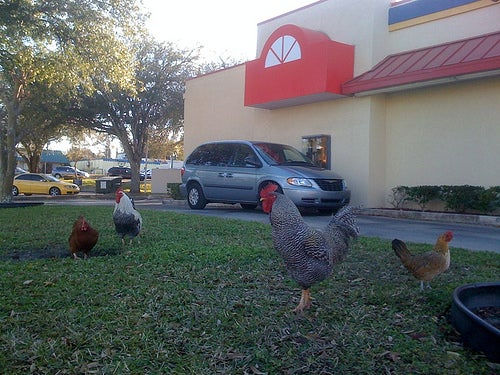Oviedo Chickens can't cross road anymore