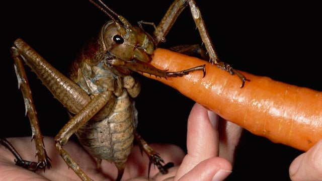 World's biggest insect could snap your finger off
