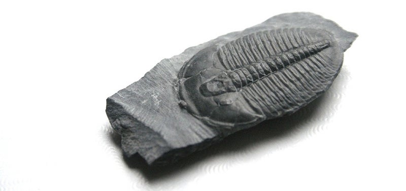 Trilobites: The Greatest Survivors in Earth's History