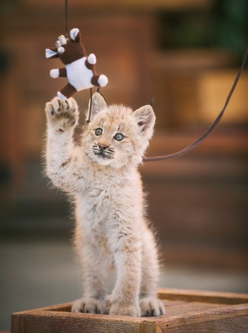 ZOMG LITTLE BABY LYNX!