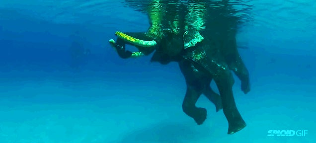 Watching the world's last ocean swimming elephant is a real delight