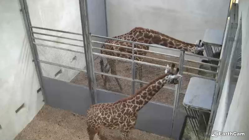Watch a Giraffe Give Birth! Live!