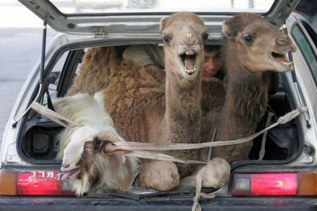 Camels Undecided On Car Rides, Goat Happy To Be Out Of Yard