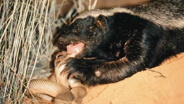 Lies, damned lies, and honey badgers