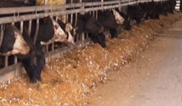 Unable to Afford Corn, Ranchers Forced to Feed Their Cows Candy
