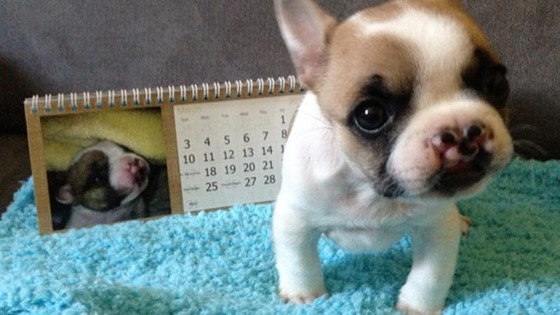 Meet Lentil, the Little French Bulldog Who Could
