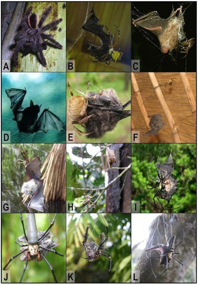 Bat-eating spiders are everywhere (except Antarctica)