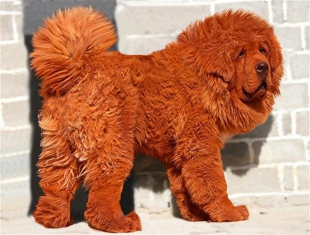 Meet the World's Most Expensive Dog