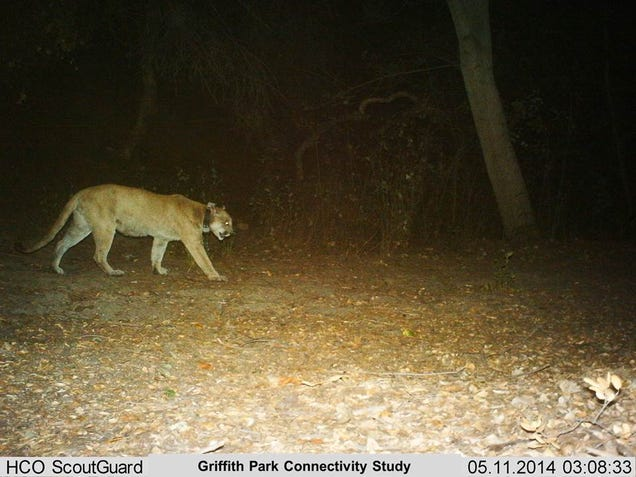 Los Angeles's Celebrity Mountain Lion is Recovering from Rat Poison
