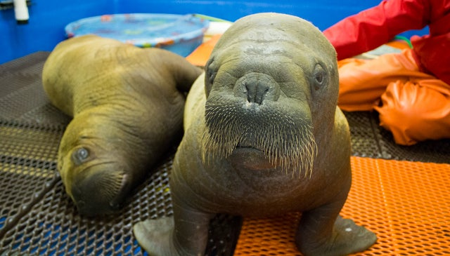 Against the Odds, an Orphaned Walrus Calf Lives to Make New Yorkers Smile