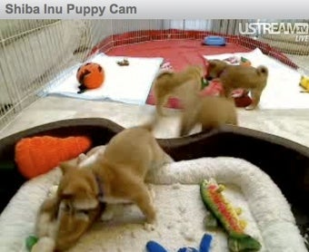 Puppycam Returns, Puppies Growing Before Our Very Eyes