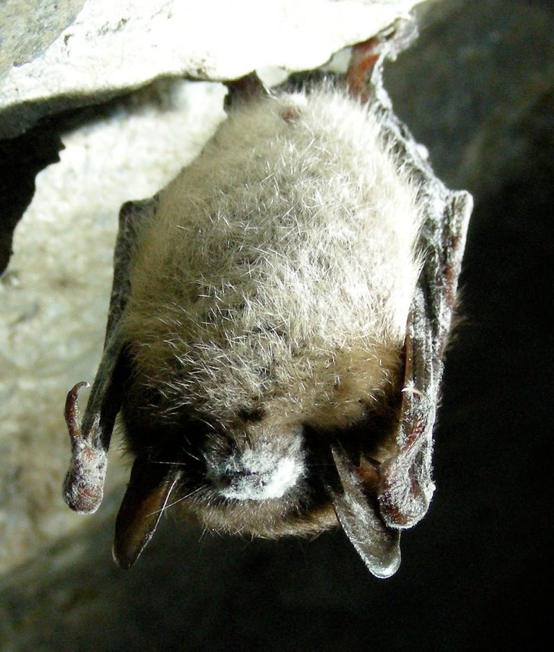 "Is the bat-killing ""white nose"" fungus a European import?"