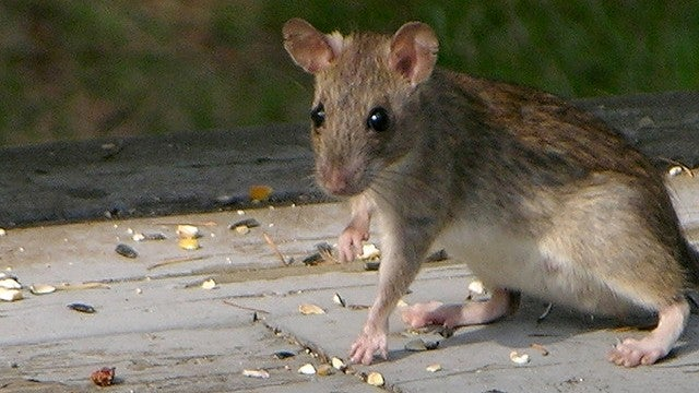 Four separate species of rats evolved to mooch off humans