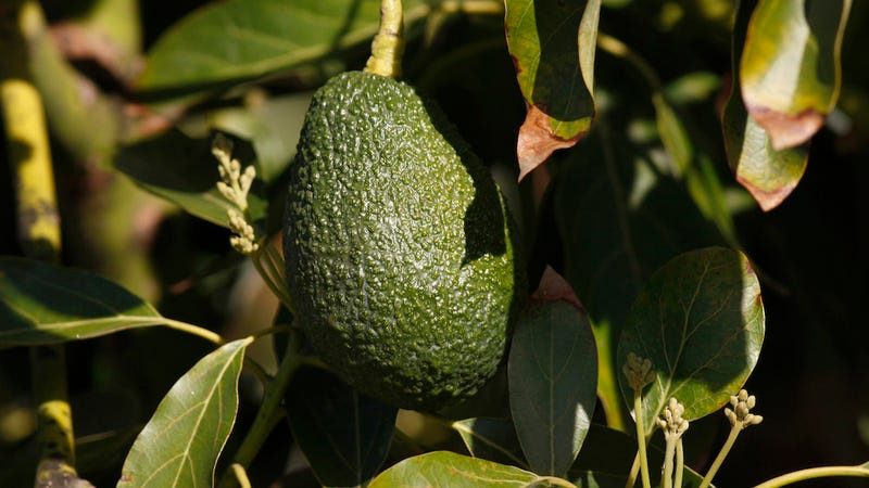 A Bizarre Avocado Crime Wave Is Sweeping Through New Zealand
