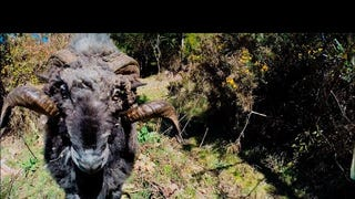 Watch This Sheep Fuck Up a Drone