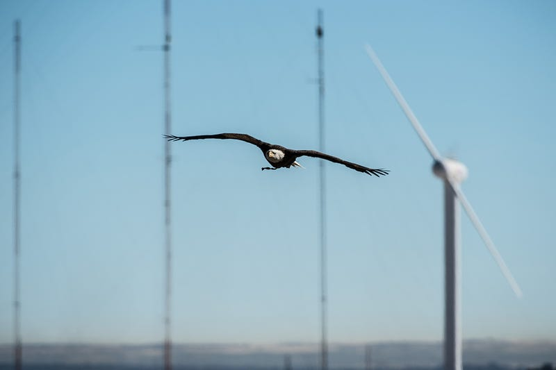 Spirit the Eagle Helps to Stop Birds Getting Chopped by Wind Turbines