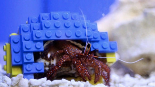 Picky hermit crab lives in a multicolored LEGO shell