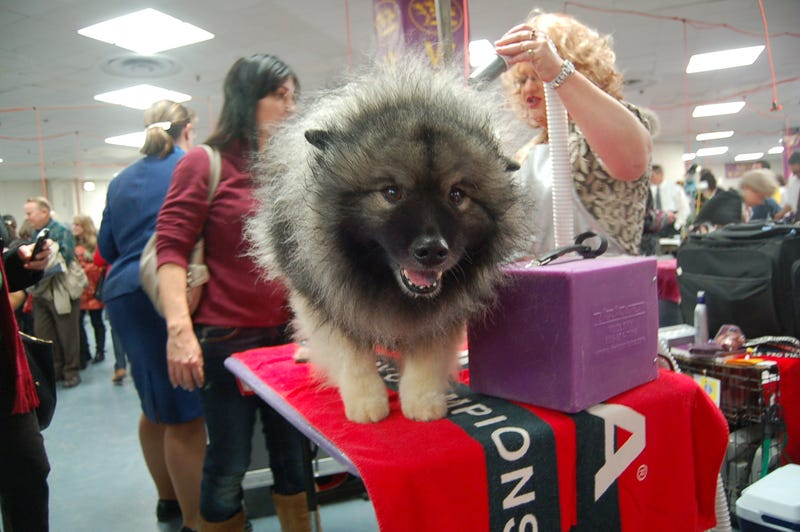 Picking Up Scraps At The Westminster Dog Show
