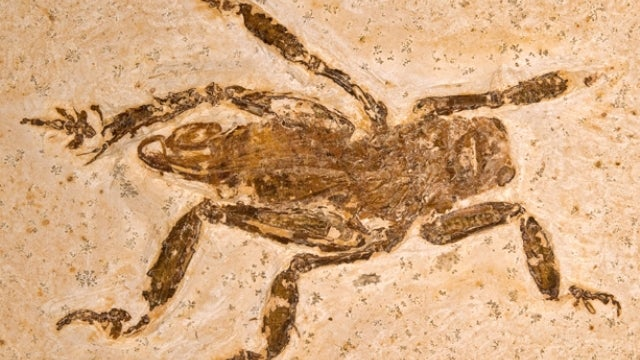 Huge cricket-like insect hasn't evolved in over 100 million years