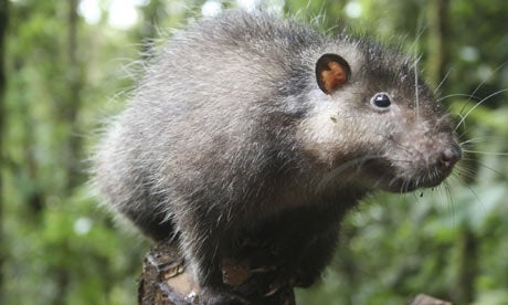 Rodents of Unusual Size Found in Volcanic Lost World