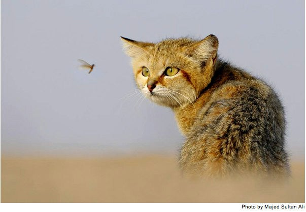 First Contact Between Desert Cat and Surveillance Microdrone
