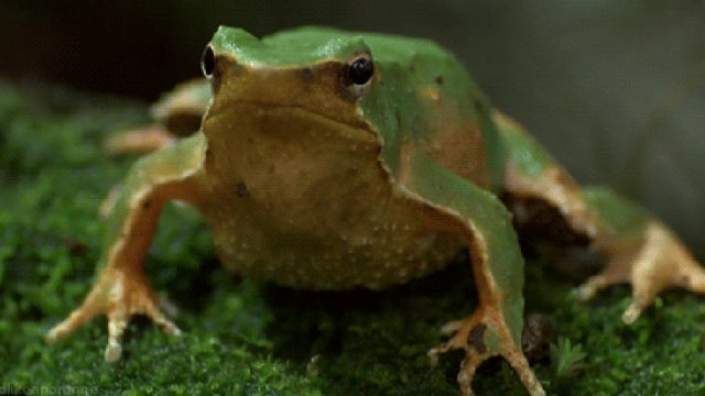In this species of frog, males rear the young... in their mouths