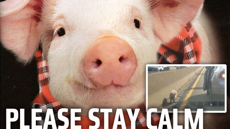Scarf-Wearing Pig Spotted On Pittsburgh Highway