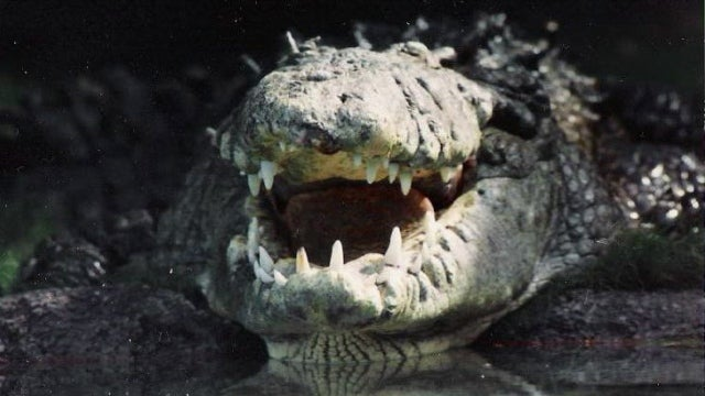 When did we first get the idea of alligators in the sewers?