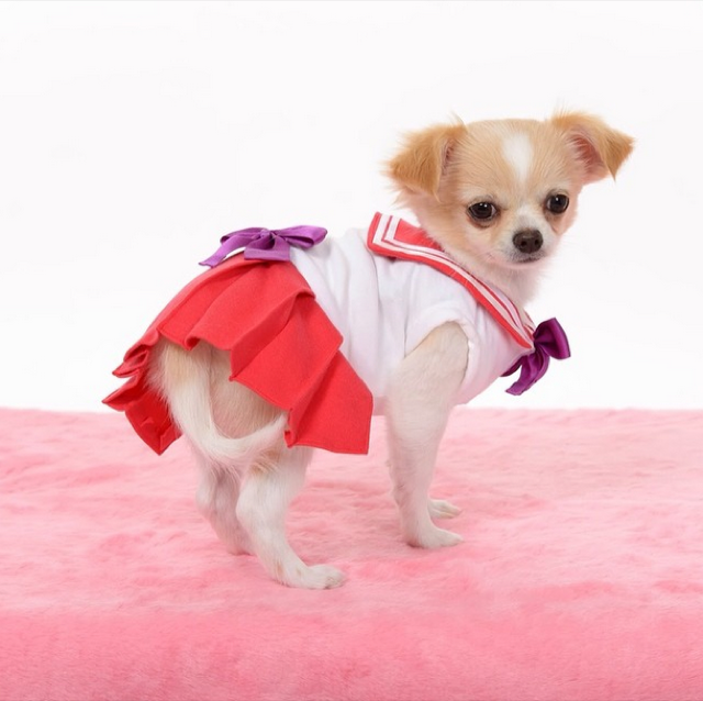 Small Dogs Cosplaying as Sailor Moon Characters