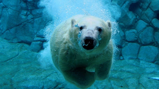 Polar bear swims for nine straight days in search of ice
