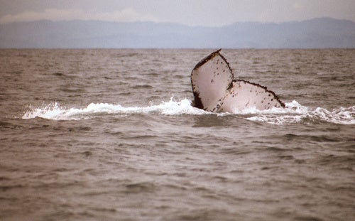 Scientists use Flickr to discover whale's record-breaking 6,000 mile migration