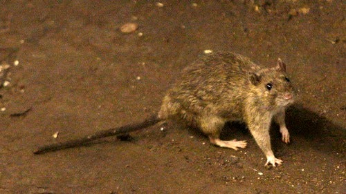 New York City's Displaced Rat Population Simply Cannot Wait to Give You the Bubonic Plague