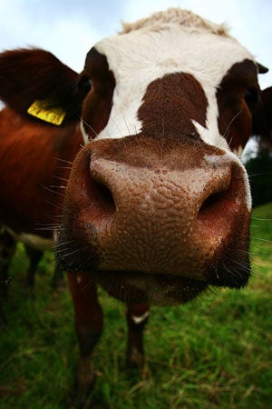More Mad Cow Disease on the Way, Say Scientists