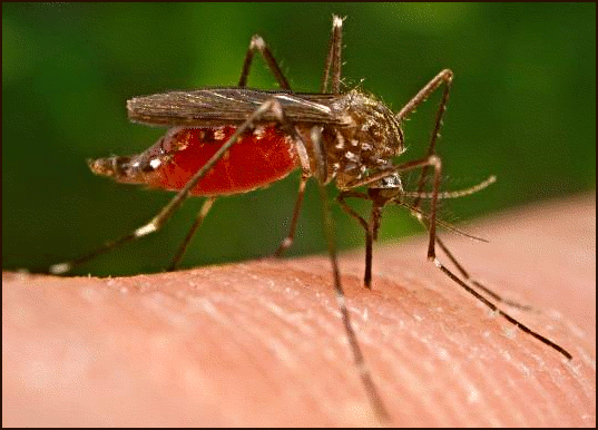 Device may stop dengue fever by slaughtering pregnant mosquitos