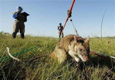 In Mozambique, Rats Make Good Mine Detectors