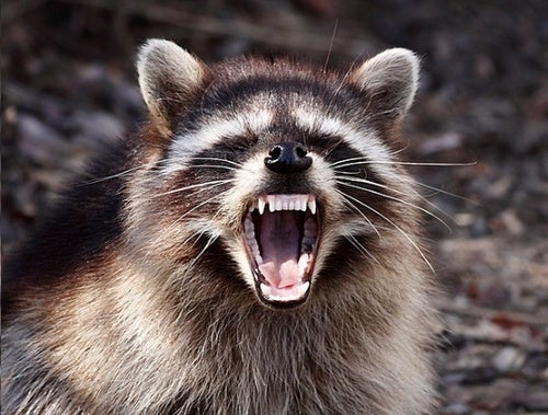 Raccoons: Only the Second of Our Plagues