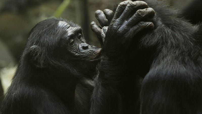Lady Bonobos Totally Kiss and Tell