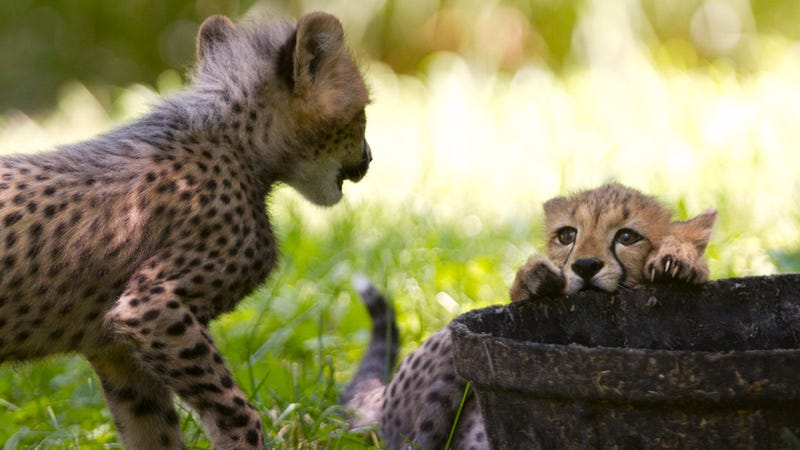 Adorable Cheetah Cubs Get Named After America's Fastest Olympians
