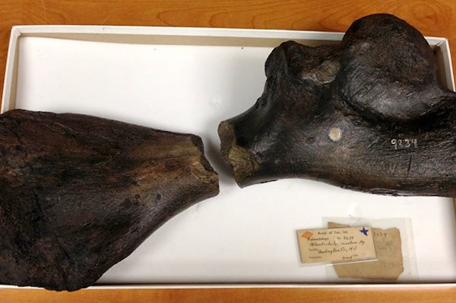 Both Halves Of A Giant Sea Turtle Fossil Found 160 Years Apart