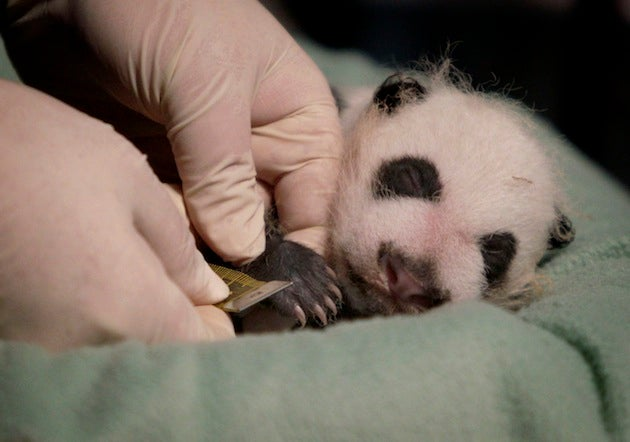 Can You Really Measure The Cuteness Of A Baby Panda? No.