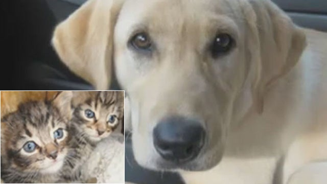 Just Another 'Dog Rescues Half-Smooshed Bag of Kittens' Story